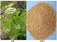 Fructus Cnidii Extract Osthole/Cnidium monnieri(L.)Cuss/Common Cnidium Fruit Extract