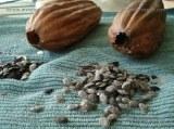 Graine de loofah