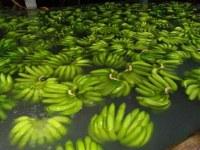 Plátanos Frescos Cavendish A Granel