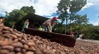 Grano de cacao seco orgánico