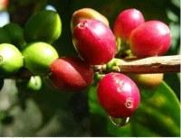 Café verde orgánico