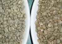 Arábica verde y café Robusta S13, S16 y S18