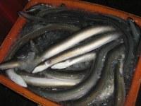 Congelados de agua dulce de la anguila