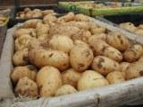 Patatas frescas de holanda