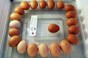 Huevos para incubar de pollo para la venta
