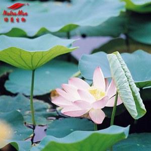 Lotus Leaf Etract (sales07@nutra-max.com)