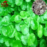 Lysimachia Extract (sales07@nutra-max.com)
